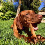 How much does a Vizsla (or any dog) cost?